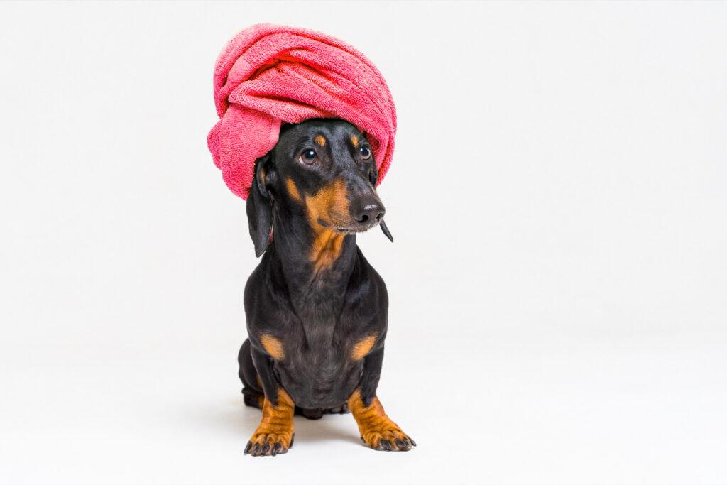 A dachshund enjoying their day at the spa.