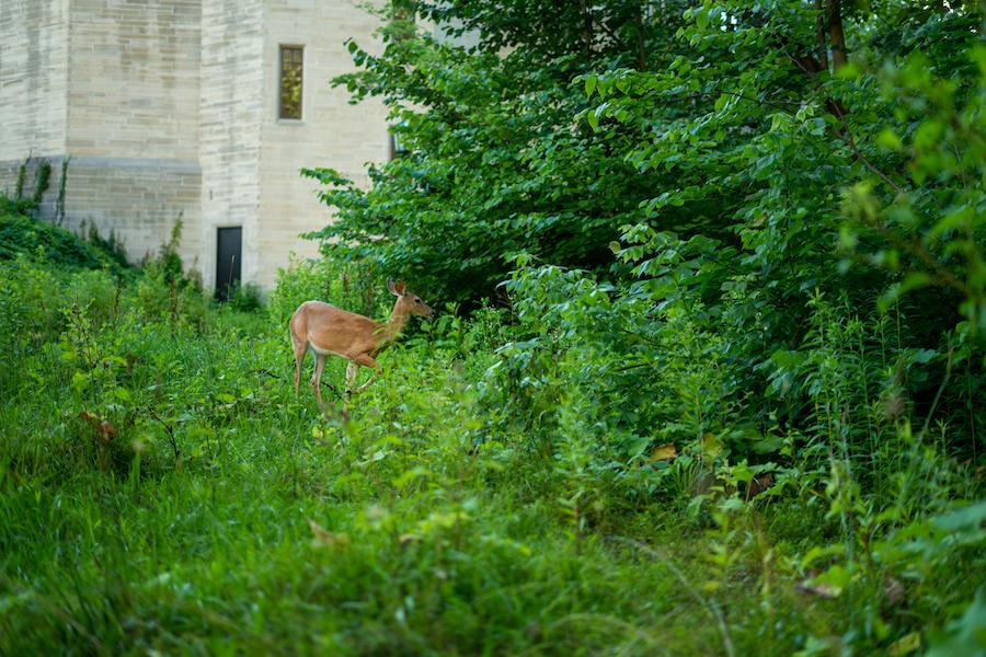 A deer in Bloomington, Indiana.