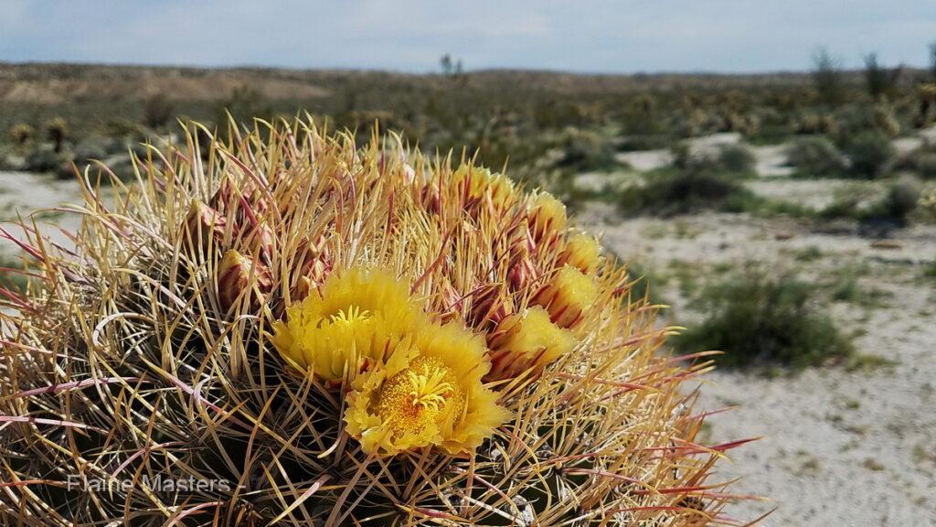 A desert barrel cactus flower.