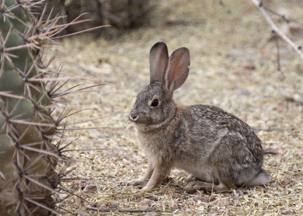 A desert cottontail rabbit at the Desert Botanical Garden in Phoenix, Arizona.
