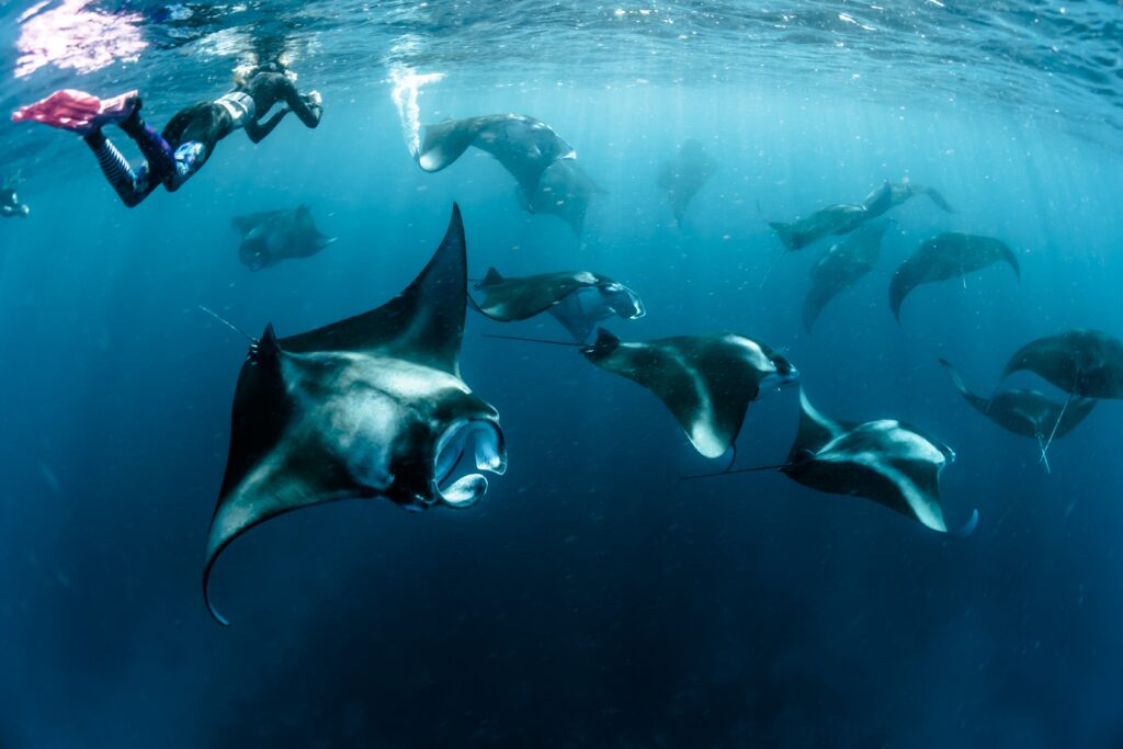 A diver photographic manta rays
