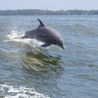A dolphin jumping out of the water along Alabama's Gulf Coast.