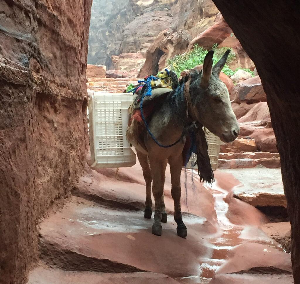 A donkey in the rain in Petra, Jordan.