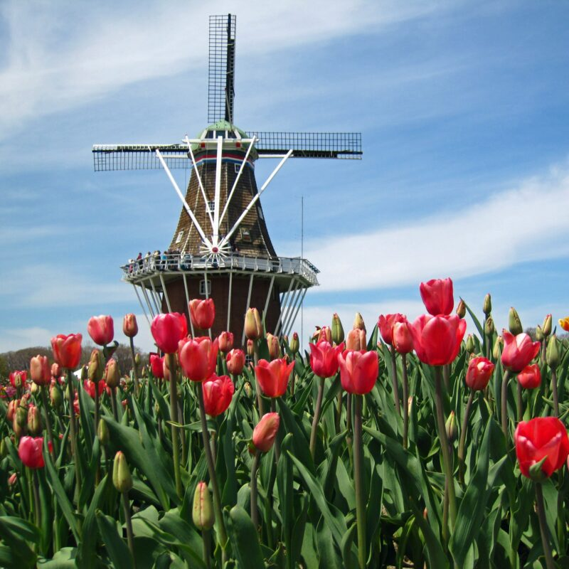 A Dutch windmill and tulips in Holland, Michigan.
