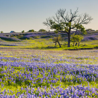 A field of bluebonnets in Texas.