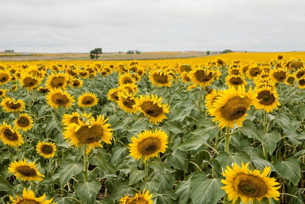 A field of sunflowers in South Dakota.