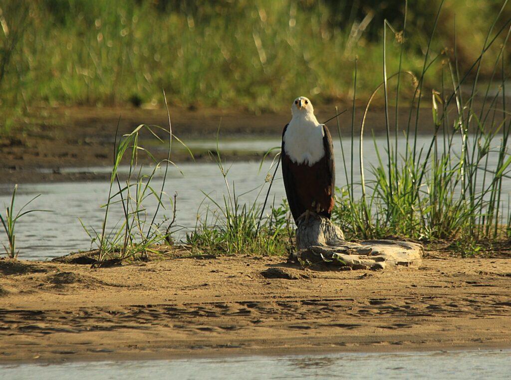 A fish eagle peering at the camera.