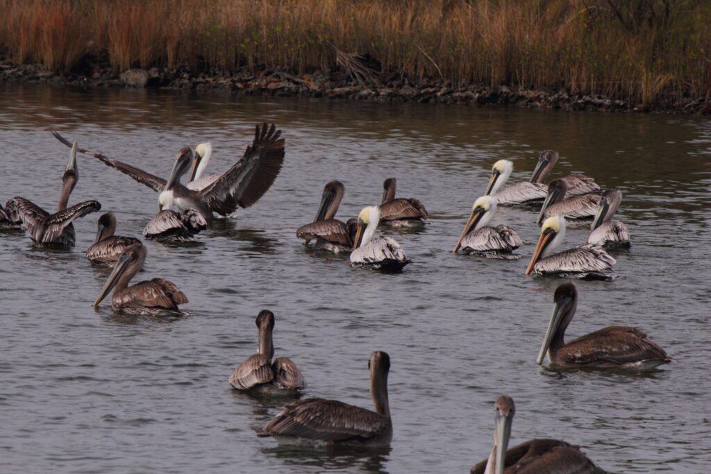 A flock of brown pelicans in Alabama.