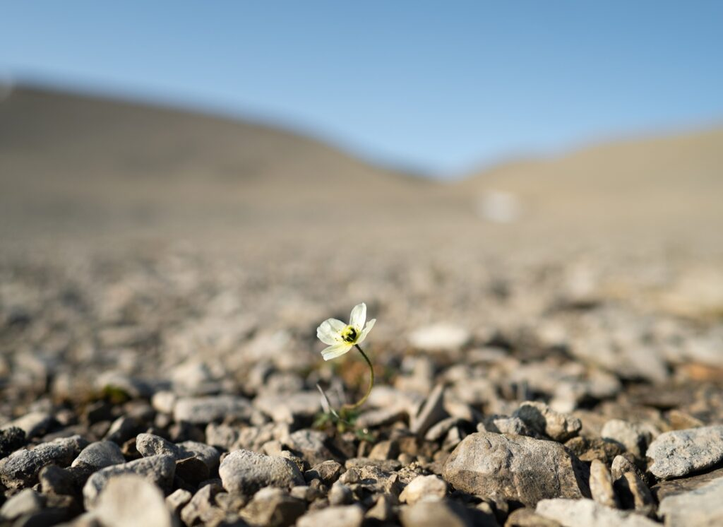 A flower on Beechy Island.