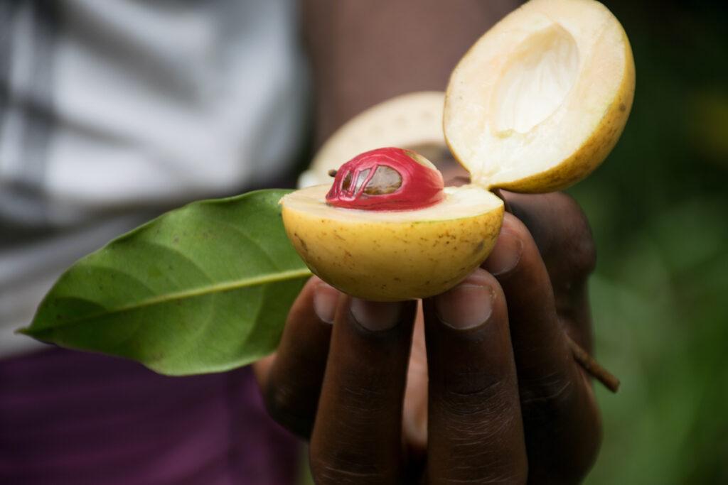 A fresh nutmeg fruit from a spice plantation in Zanzibar.