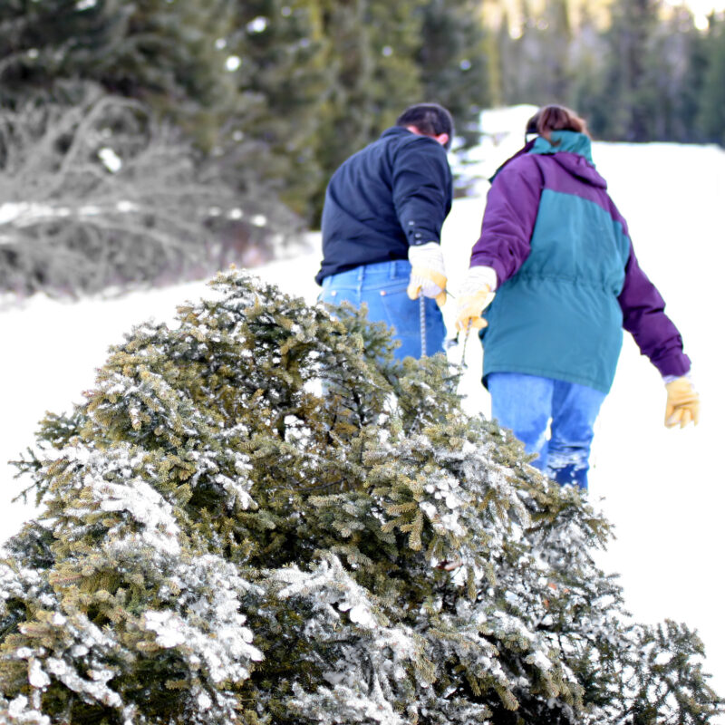 A freshly cut Christmas tree being taken home.