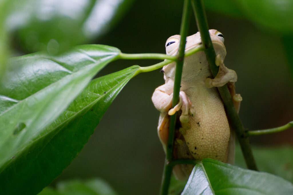 A frog in the Manuel Antonio National Park.