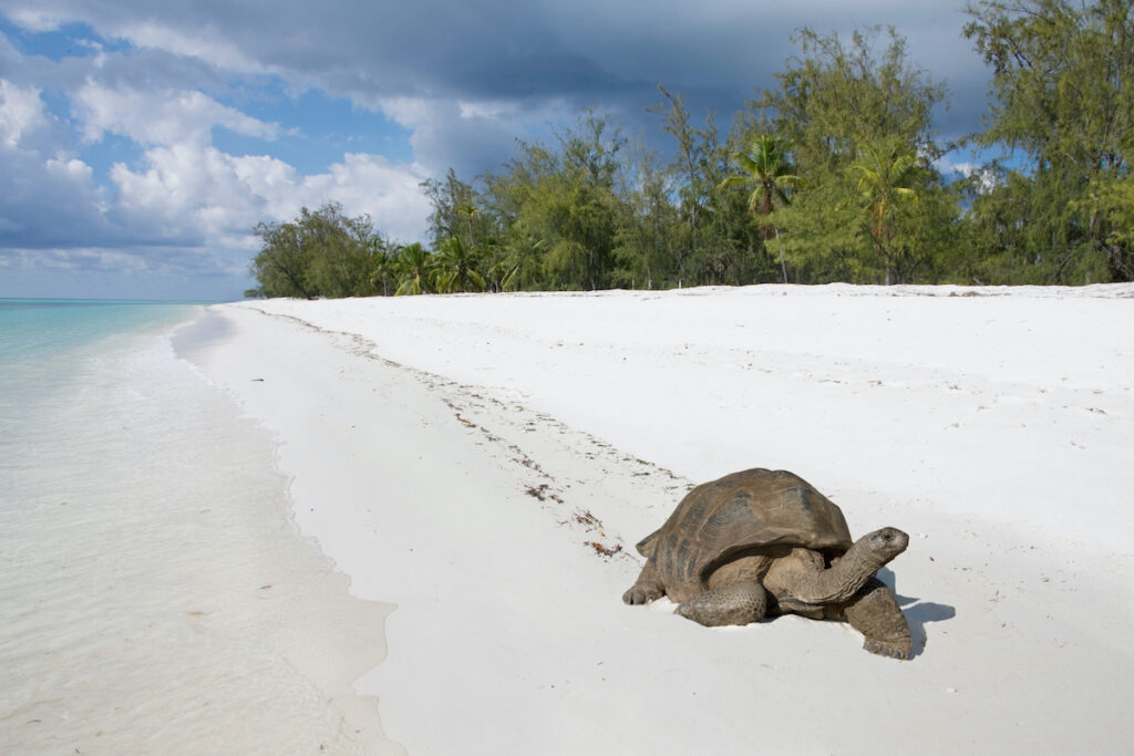 A giant tortoise at the Aladabra Atoll.