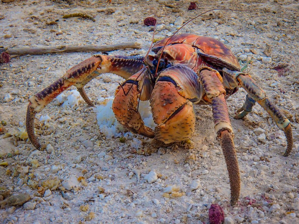 A gigantic robber crab on Christmas Island in Australia.
