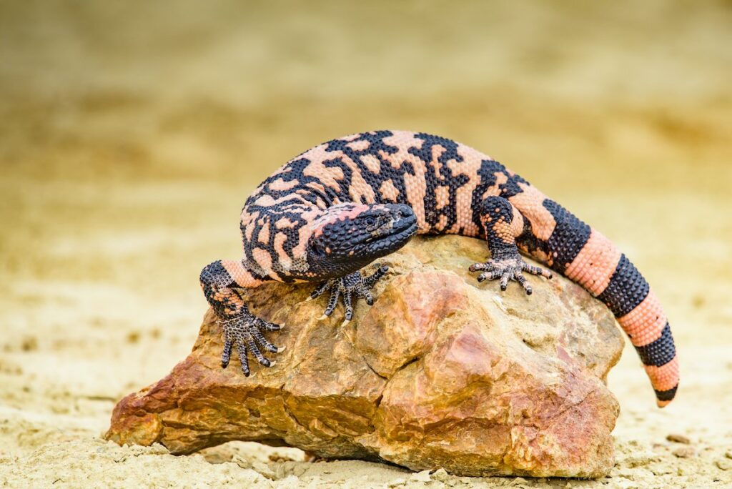 A Gila monster on a rock.