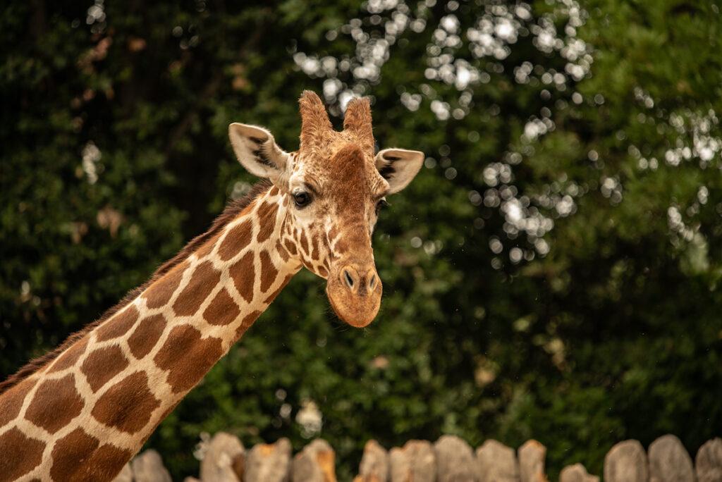 A giraffe at the Sacramento Zoo.