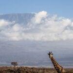 A giraffe in front of Mount Kilimanjaro.