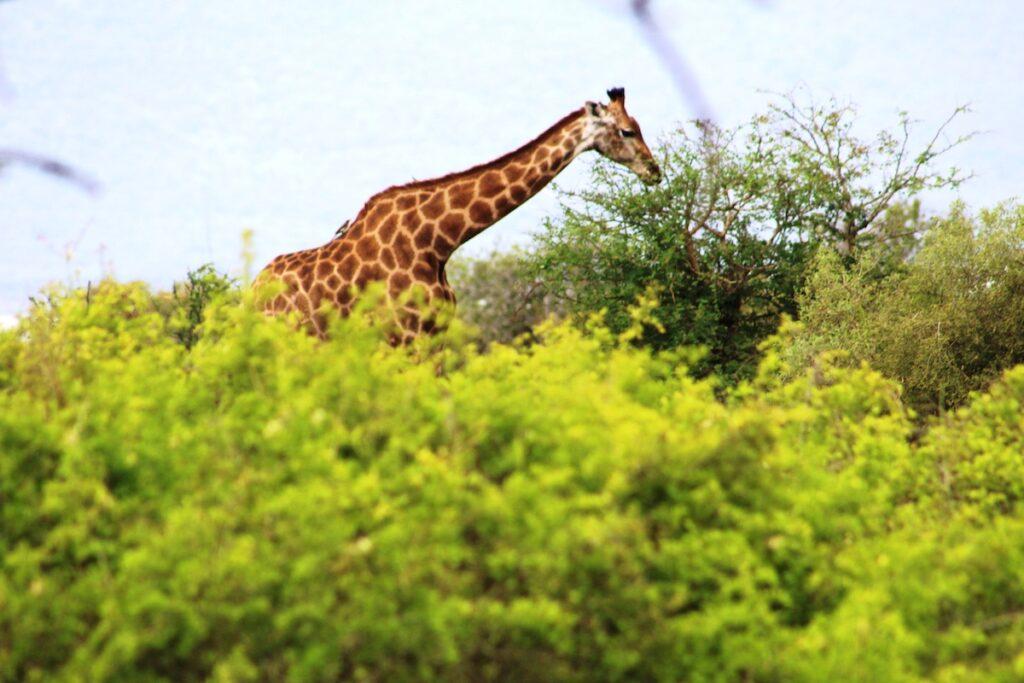 A giraffe in Kruger National Park.
