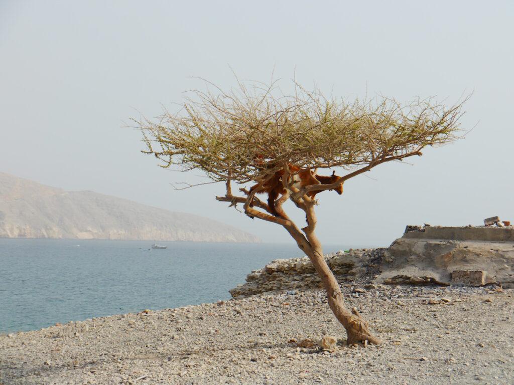 A goat in a tree in Oman.