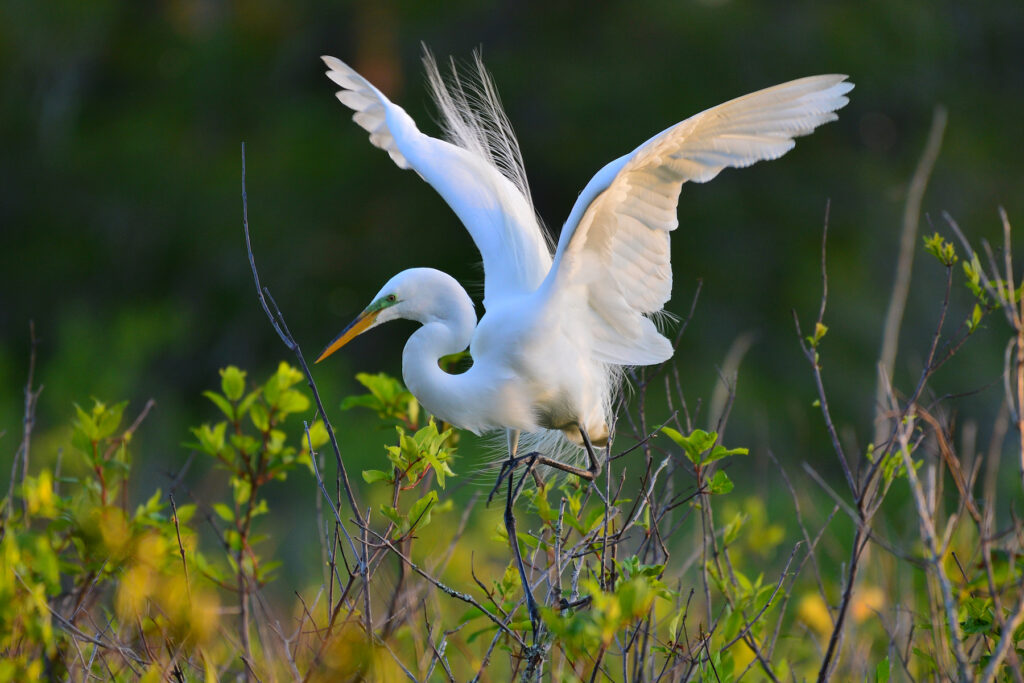 A great egret at Saint Andrews State Park in Florida.