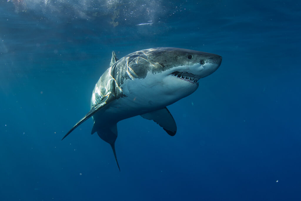A great white shark in the Pacific Ocean.
