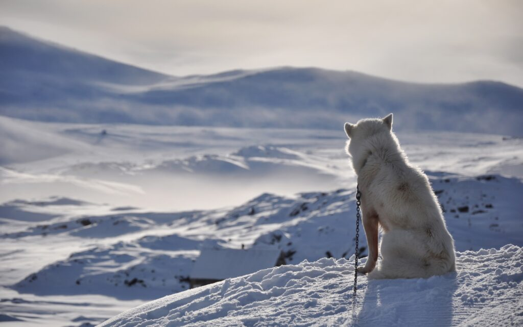 A Greenland Dog in the snow.