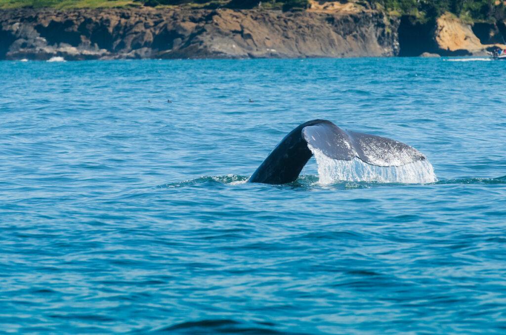 A grey whale off the coast of Oregon.