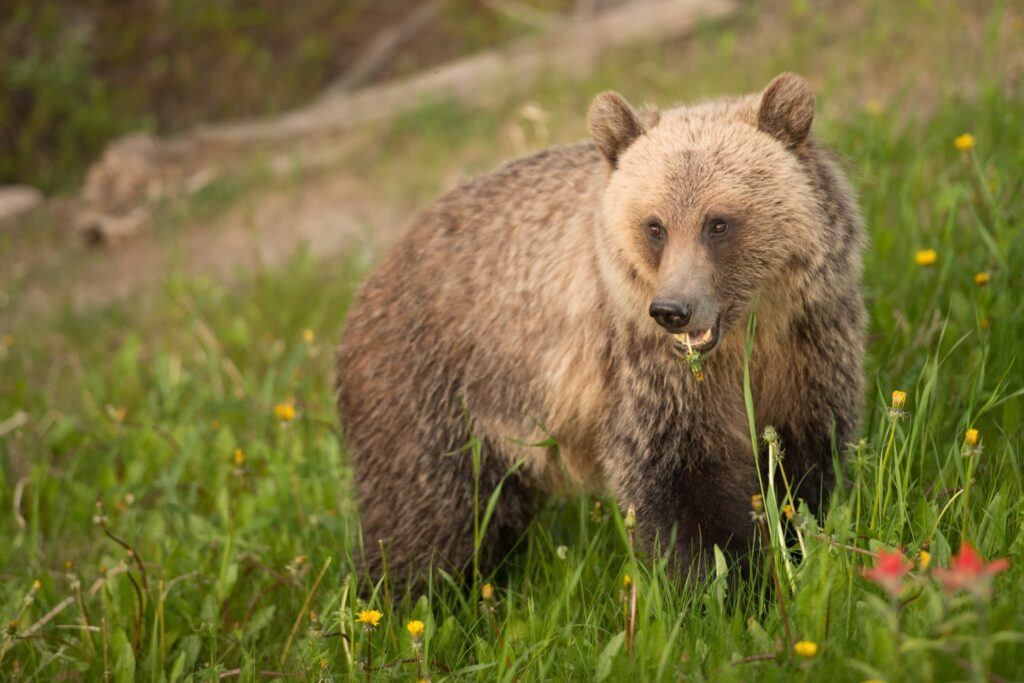 A grizzly bear at Lake Louise.