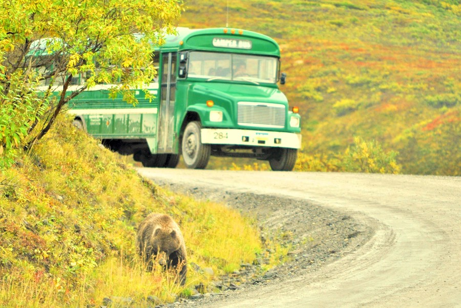 A grizzly bear in Denali National Park.
