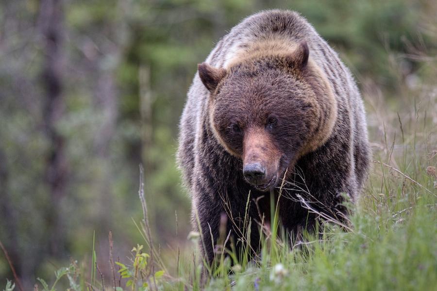 A grizzly bear in Jasper, Canada.