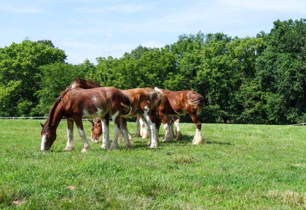 A group of clydesdales at Warm Springs Ranch.