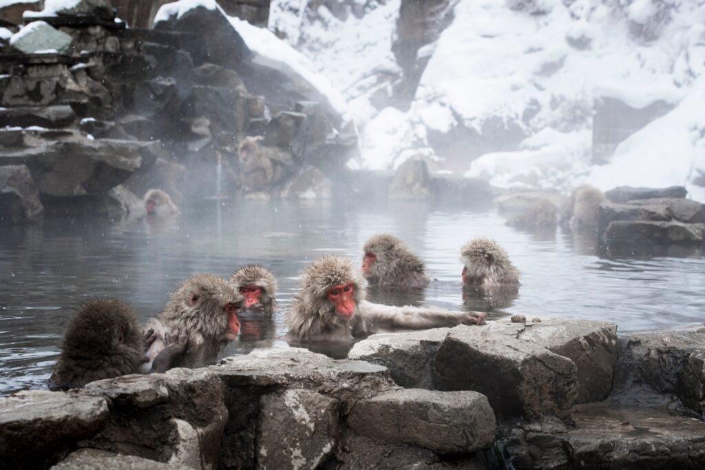 A group of monkeys in Jigokundani Yaen-Koen.