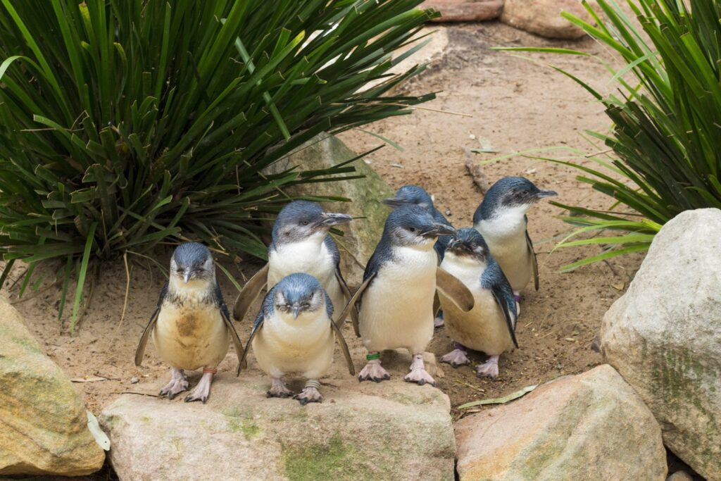 A group of penguins on Phillip Island.