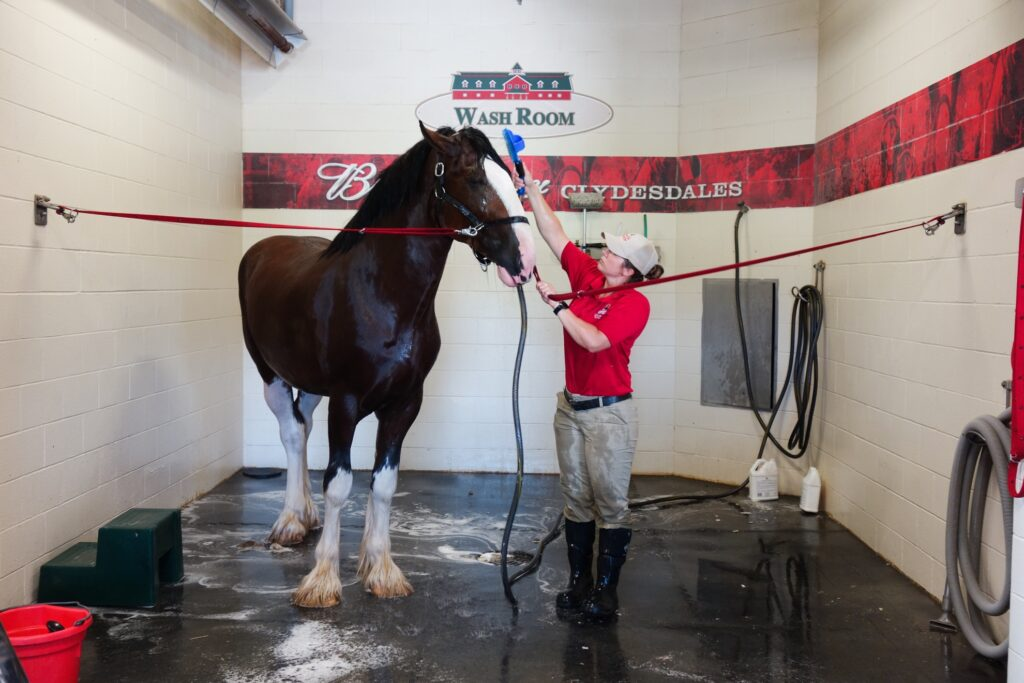 A handler cleaning a Clydesdale.