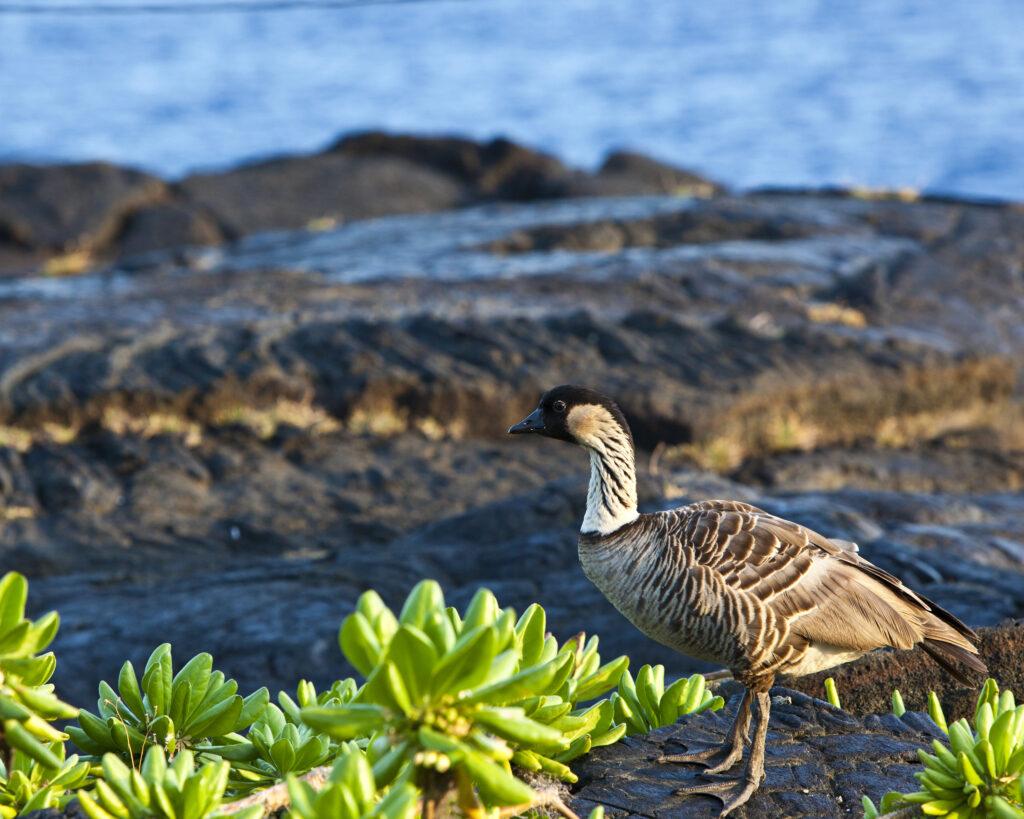 A Hawaiian neen standing amongst tropical foliage.
