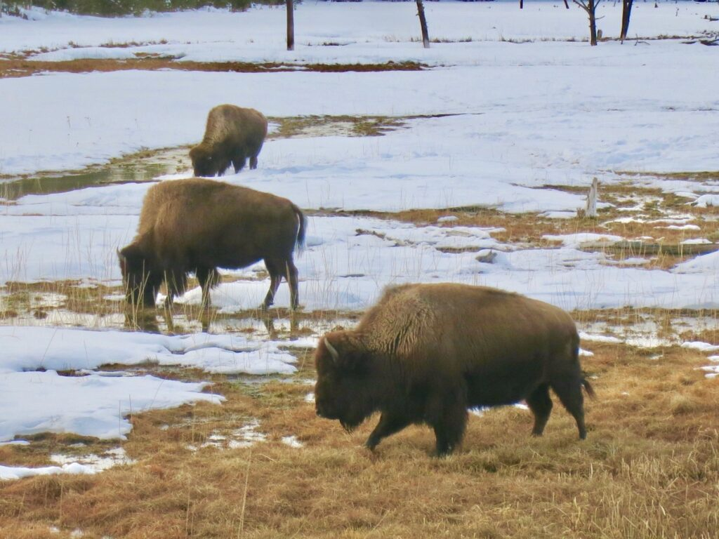 A herd of buffalo at Yellowstone National Park.