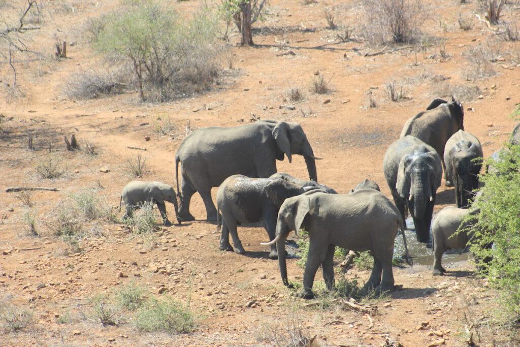 A herd of elephants in Africa.
