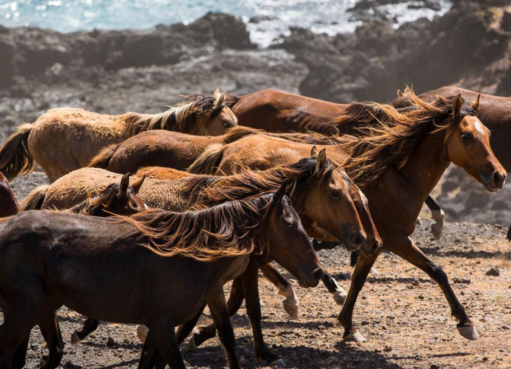A herd of wild horses in Tahuata, Tahiti.