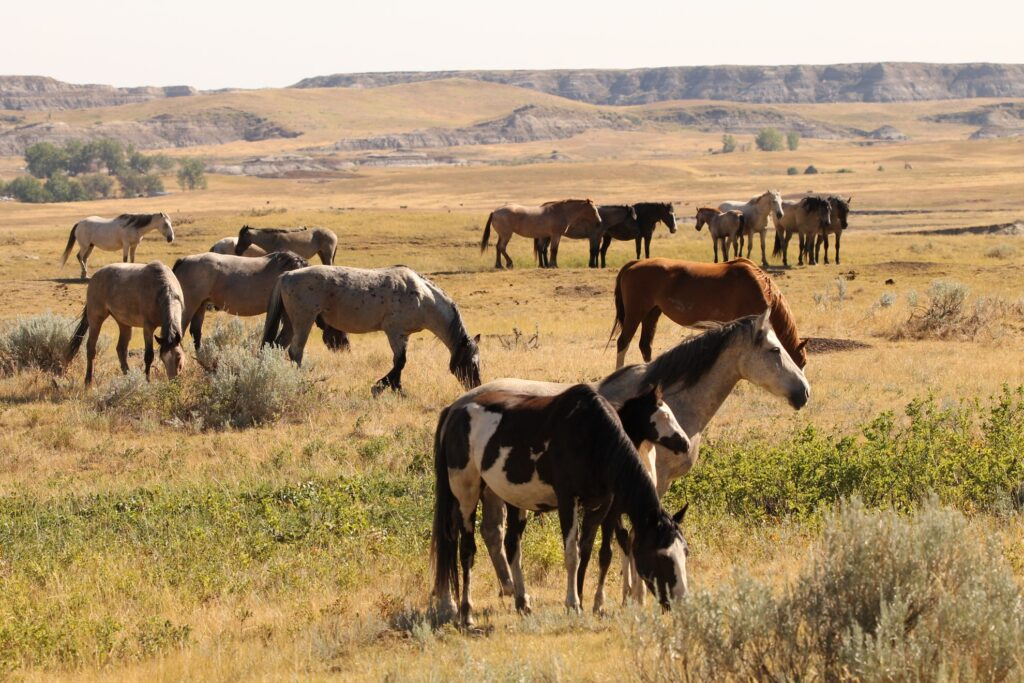 A herd of wild horses in Theodore Roosevelt National Park.