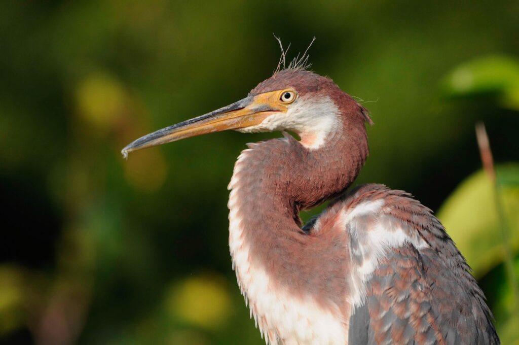 A heron in Siesta Key, Florida.
