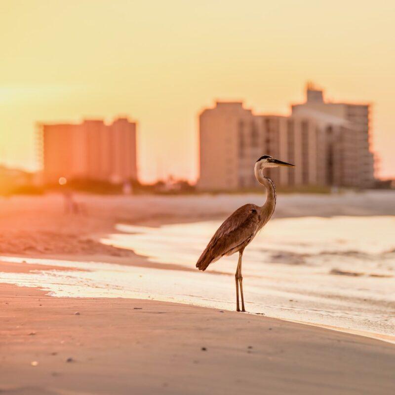 A heron on the beach in Orange Beach, Alabama.
