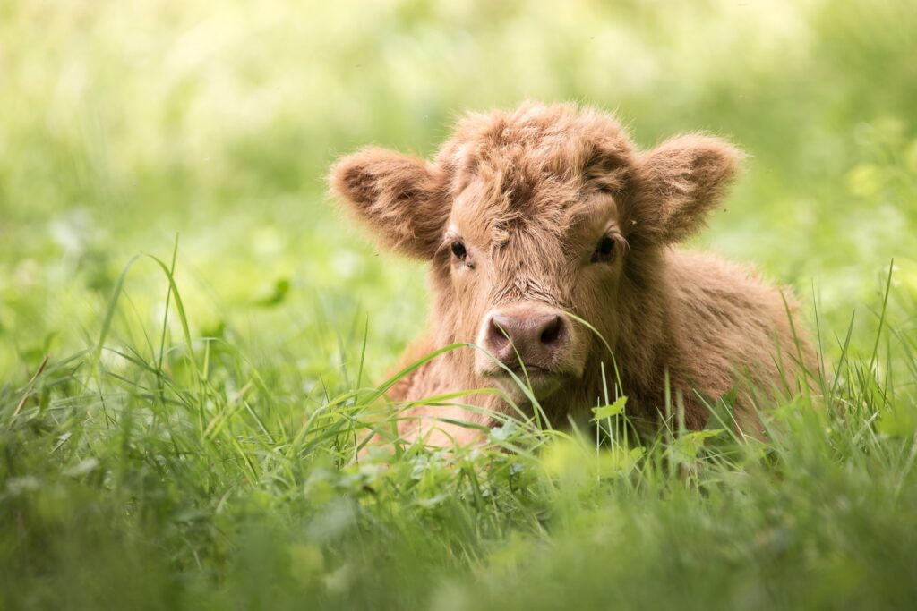 A Highland calf in Scotland.
