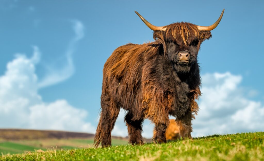 A Highland cow in Scotland.