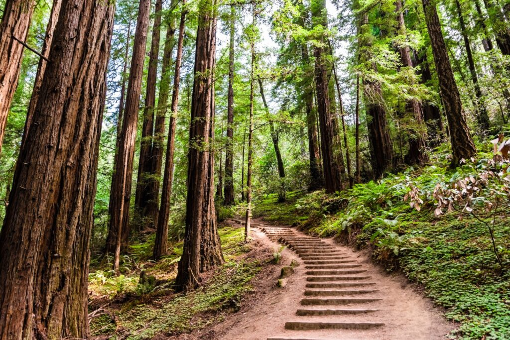 A hiking trail through Muir Woods National Monument.