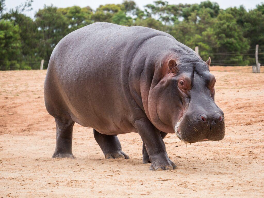 A hippopotamus in Africa.