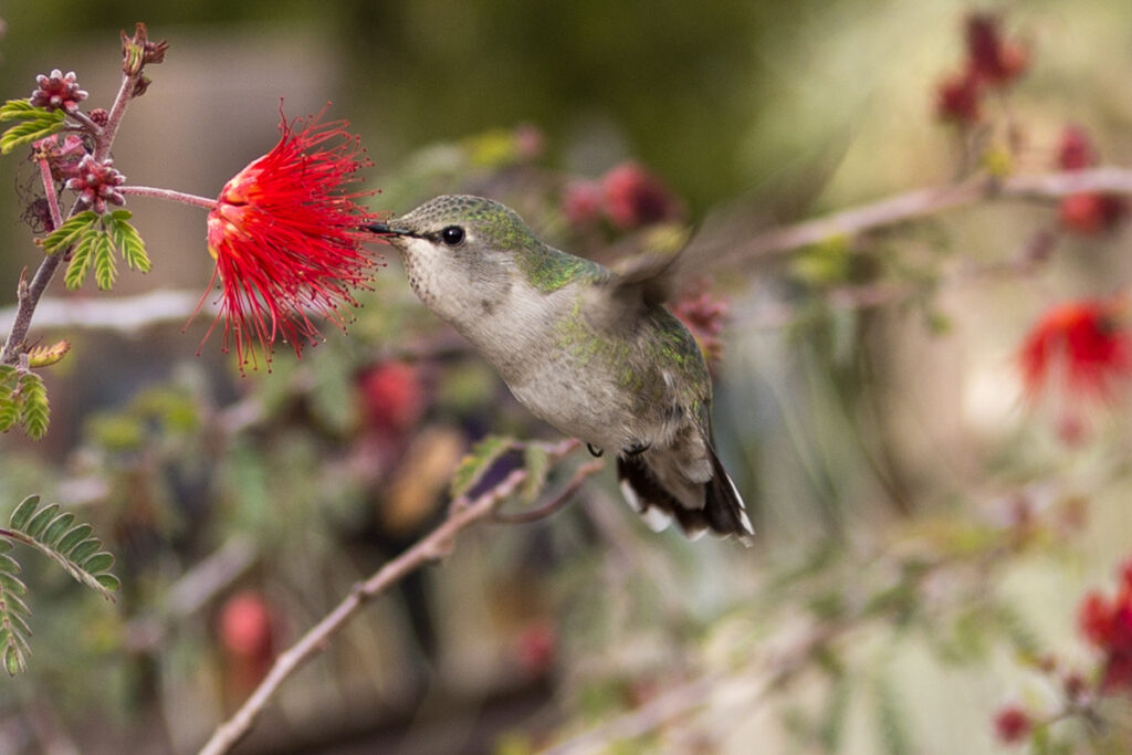 A hummingbird at the Desert Botanical Garden in Phoenix, Arizona.