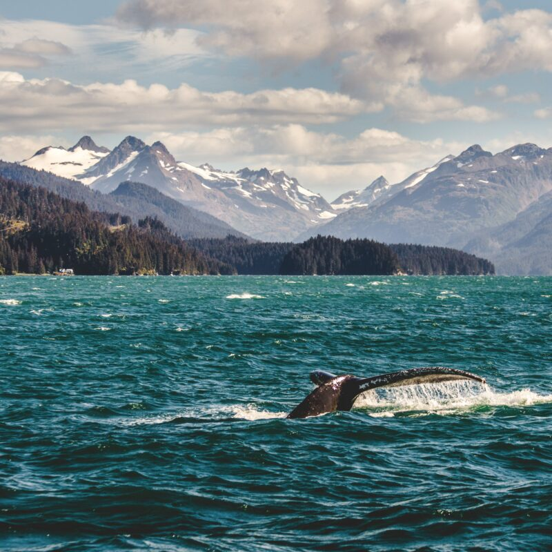 A humpback whale in the waters of Homer, Alaska.