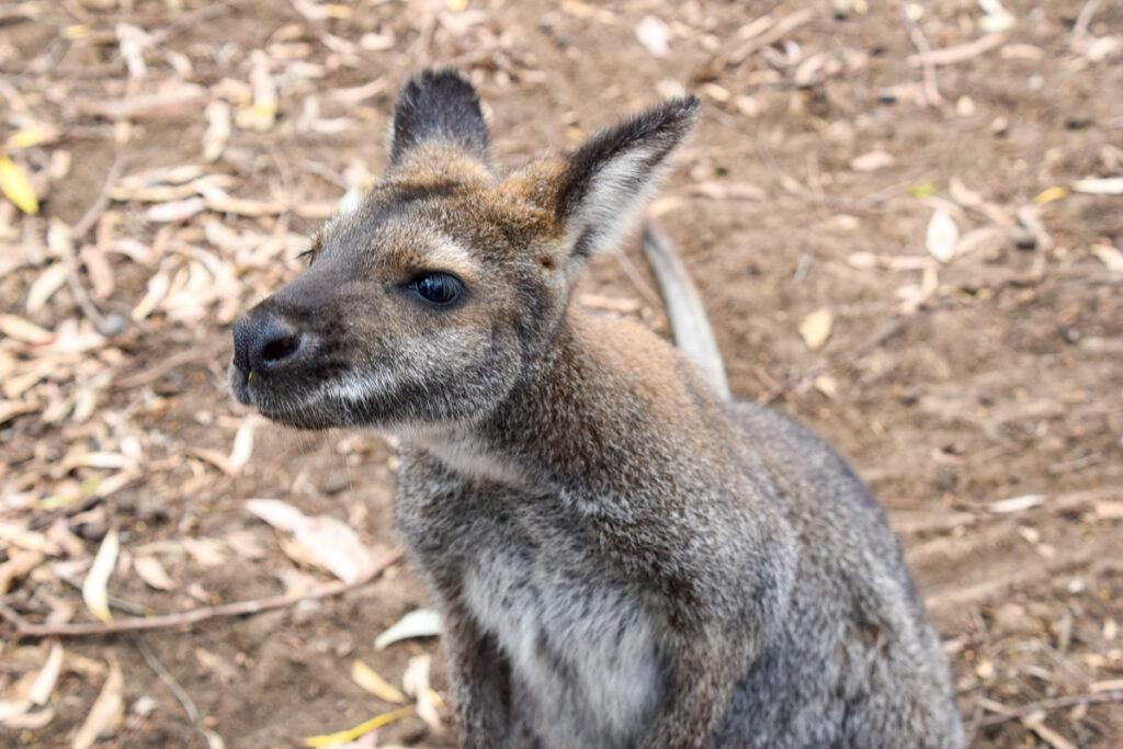 A kangaroo on Kangaroo Island.
