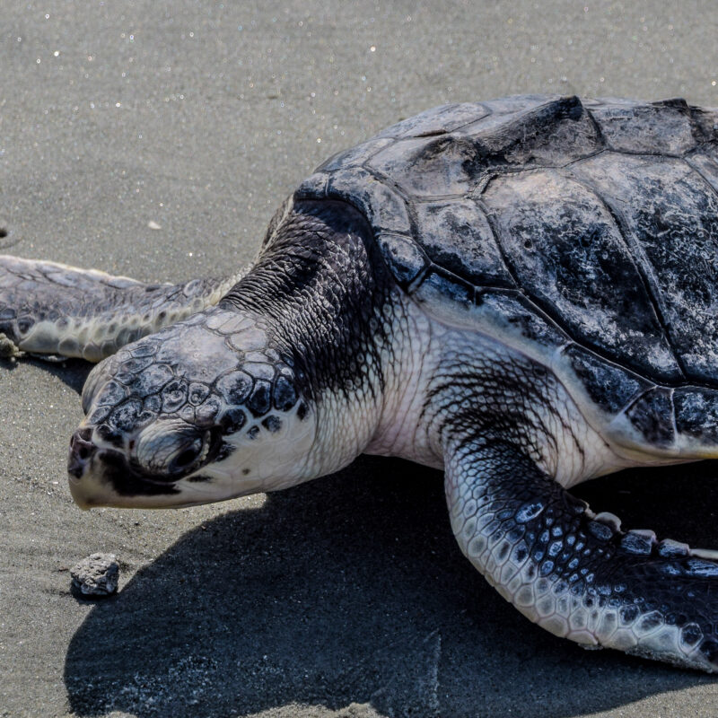 A Kemp's Ridley sea turtle in the sand.
