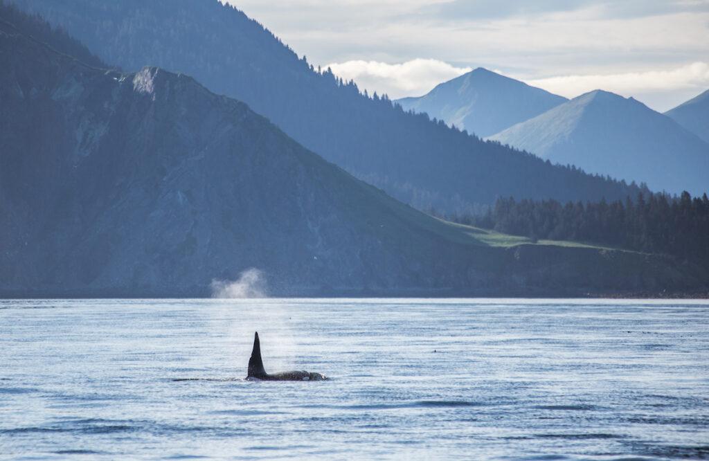 A killer whale in Kachemak Bay, Alaska.